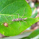juvenile stick insect