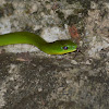 青蛇 / Taiwan green snake