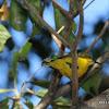 Olive-backed Sunbird or Yellow-bellied Sunbird (female)