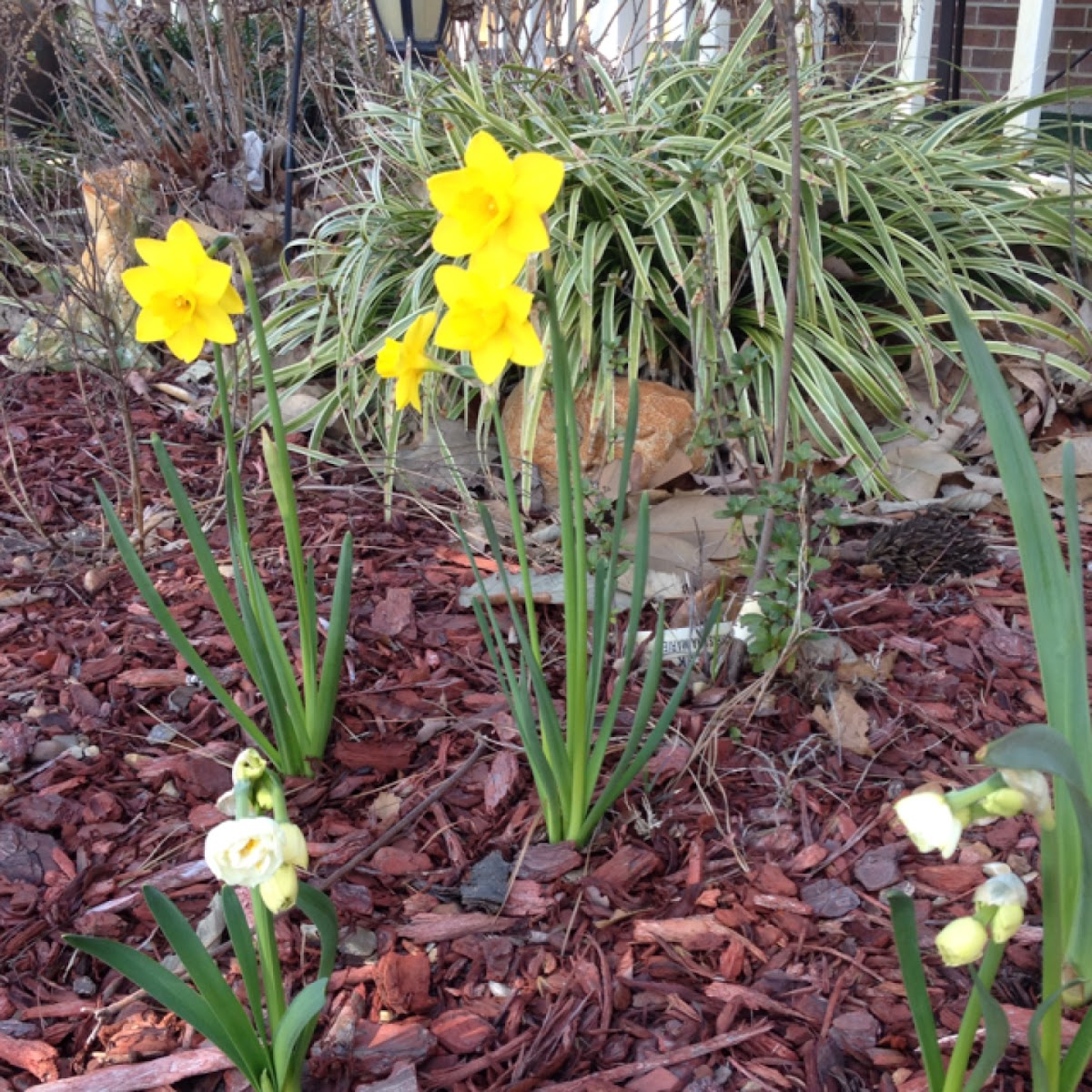 Daffodil