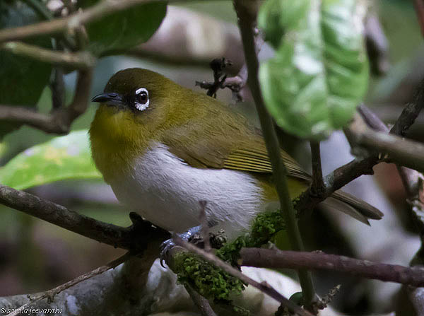Sri Lanka White-eye