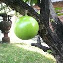 Maja fruit