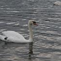 Swan (Cigno)
