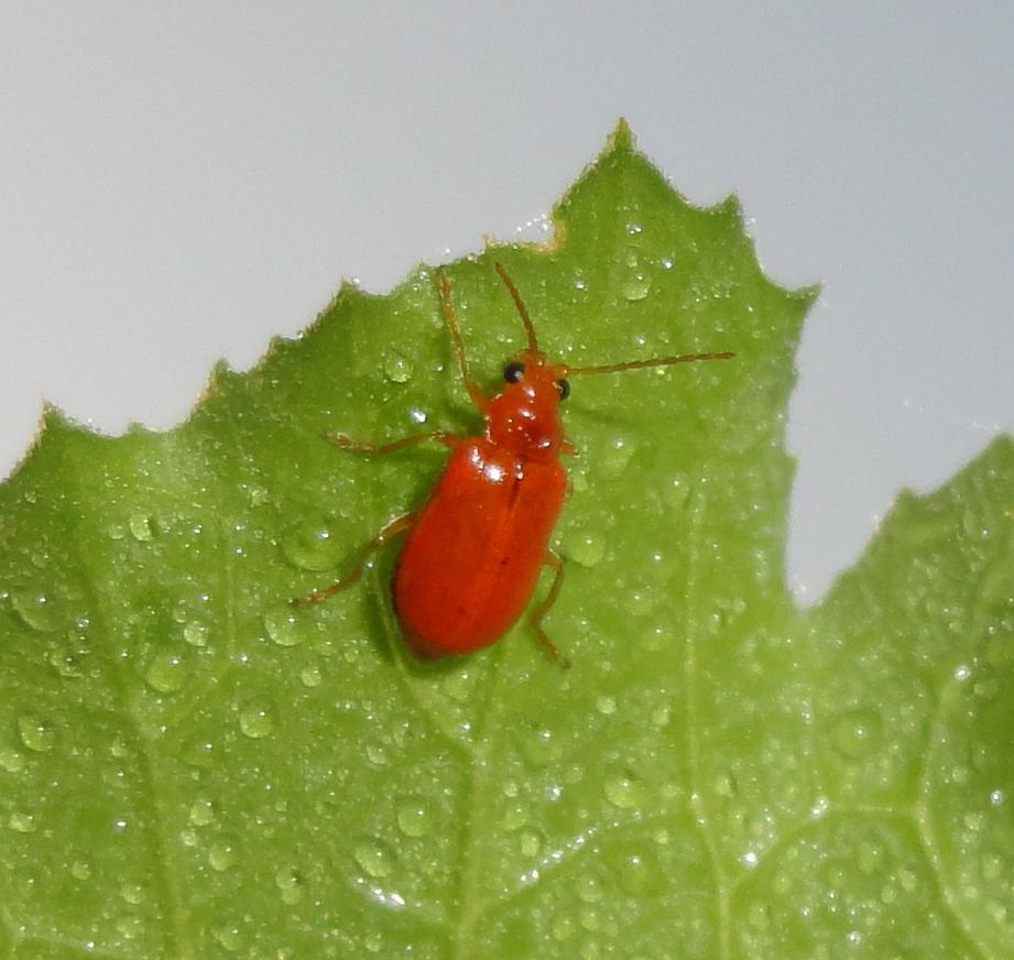 Red Pumpkin Beetle