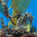 Potbelly Seahorse