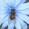 Ferdinandea Hoverfly