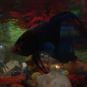 Betta or Siamese Fighting Fish