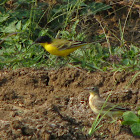 Black Headed(Yellow) Wagtail