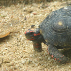 Red footed tortise