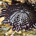 Shingle Urchin