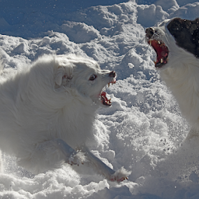 The Wild Side by Melanie Melograne - Animals - Dogs Playing ( playing, seasonal, border collie, winter, snow, amwrican eskimo, white, dog, black )