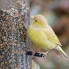Leucistic American Goldfinch