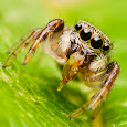 Jumping Spiders of Ontario