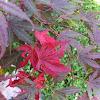 JapaneseRed leaf maple