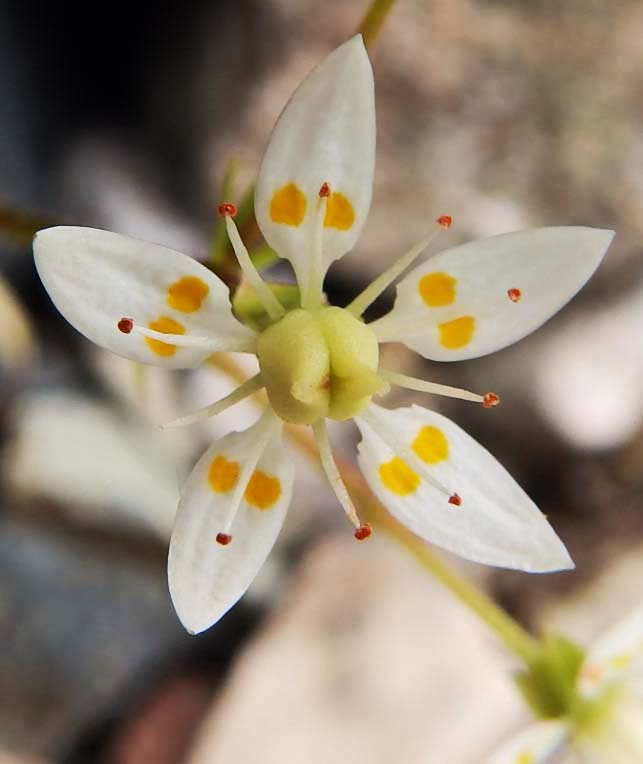 Starry saxifrage