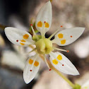 Starry saxifrage