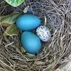 Cowbird egg