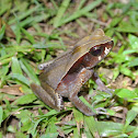 Blackbelly Toad