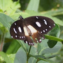 White-banded Swallowtail