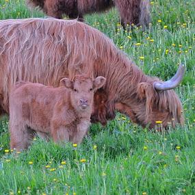 Scottish Highland Cattle by Hilde Lorgen - Animals Other Mammals ( thankafarmer, ilovenorway )