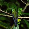 Hummingbird/Kolibrik