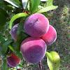 GA. Peach