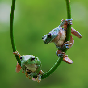 by Ajar Setiadi - Animals Amphibians (  )