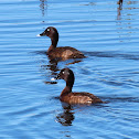 Hardhead or White-eyed Duck (males)