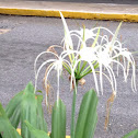Caribbean Spider-lily