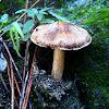 Hongo Hypholoma fasciculare