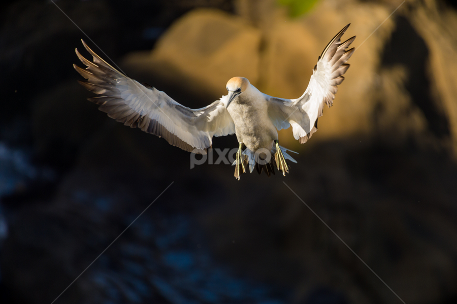 Landing by Mahdi Hussainmiya - Animals Birds ( gannet, lighting, landing, wings, action, bird in flight )