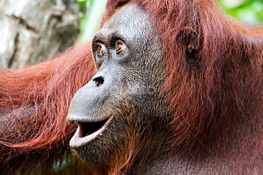 Orangutan by Siew Feun Kylemark - Animals Other Mammals ( mammals, orang utan, zoo, ape, animal, monkey )