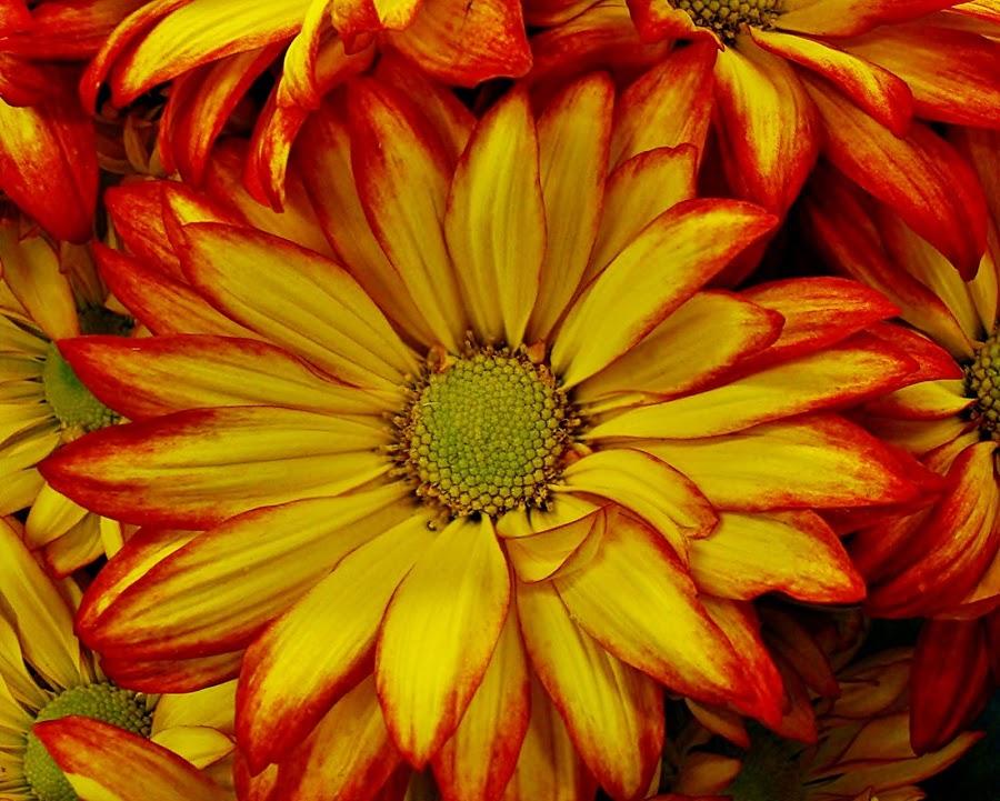 Mum....... by Silvia Sandrock - Flowers Single Flower ( macro, single flower, yellow and orange mum, flowers, mum )