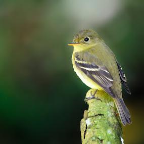 Yellow little bird by Sergio Moya - Animals Birds ( bird, wildf, nature, méxico, yellow,  )