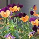 horned violet