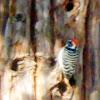 Nutalls Wood Pecker