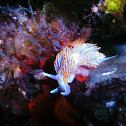 Opalescent nudibranch, or hermissenda