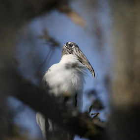 Through the Window by Jared Lantzman - Animals Birds ( bird, frame, tree, window, prey, vulcher )