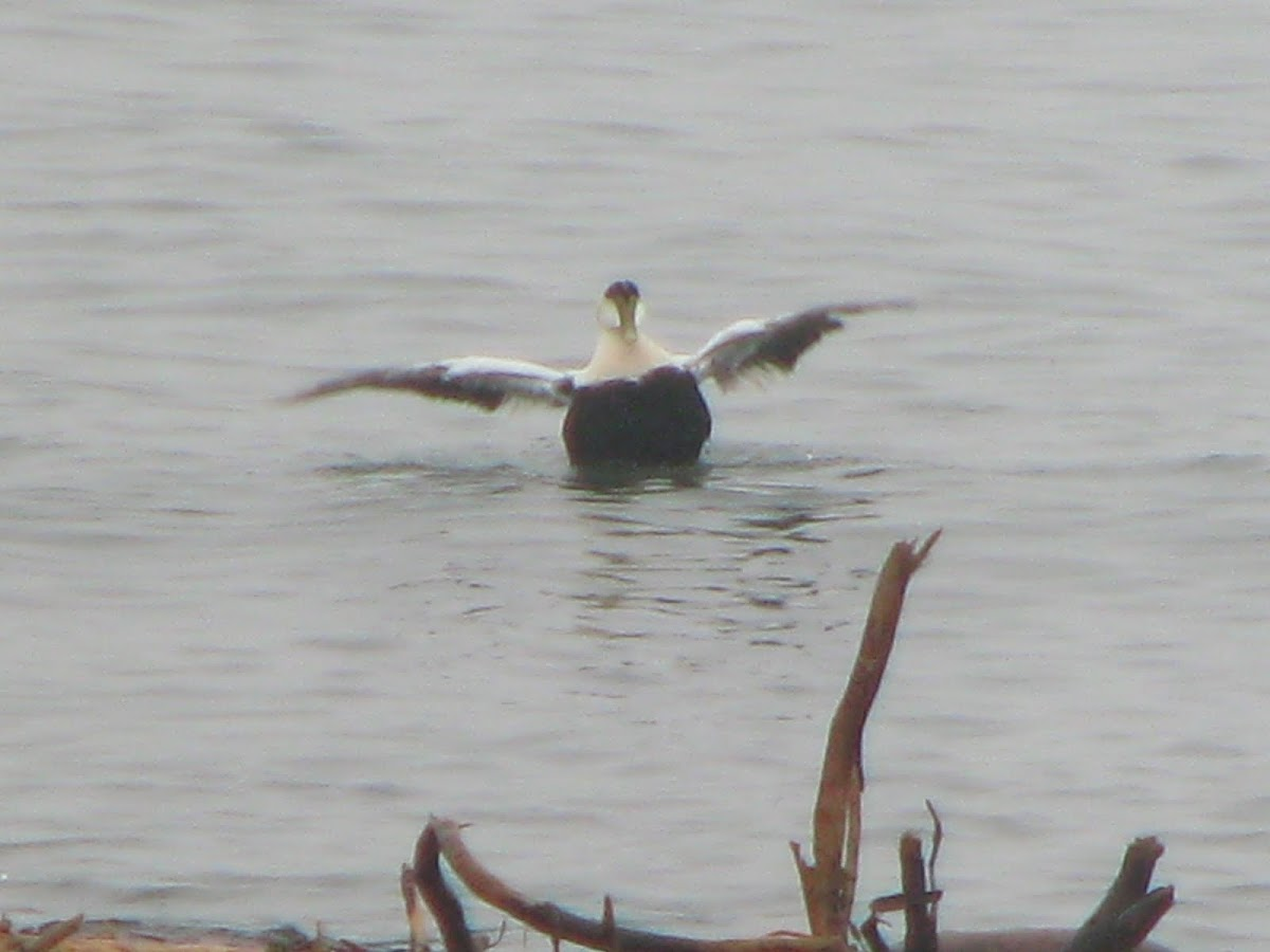 Common Eider Duck