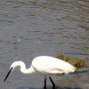 Litle Egret