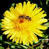 Imenottero Apidae