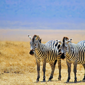 Zebras by Jaliya Rasaputra - Animals Other Mammals ( zebras,  )
