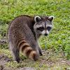 Raccoon (juvenile)