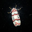 Tiger Moth, Female