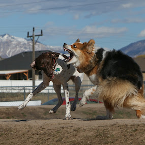 Yes they are playing by Karin Bennett - Animals - Dogs Playing