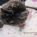 Silver hair bat