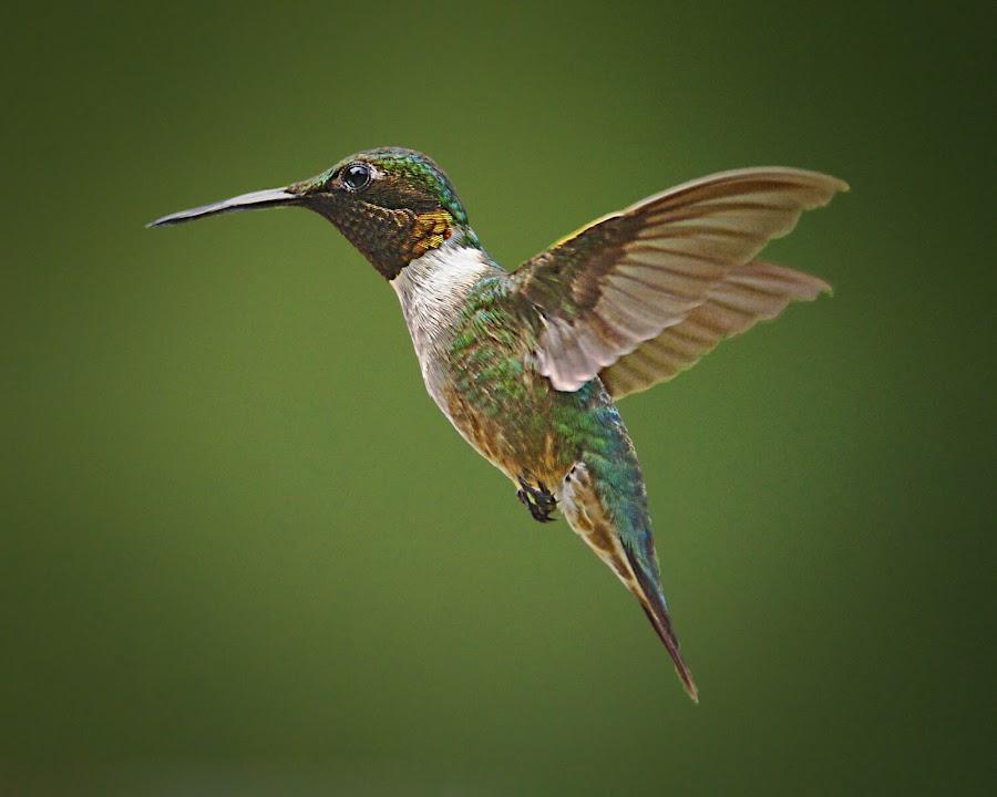 YUP by Roy Walter - Animals Birds ( flight, animals, nature, hummingbird, wildlife, birds, rubythroated )