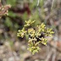 Wooly-Fruited Lomatium