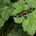 Asian Handmaiden Moth