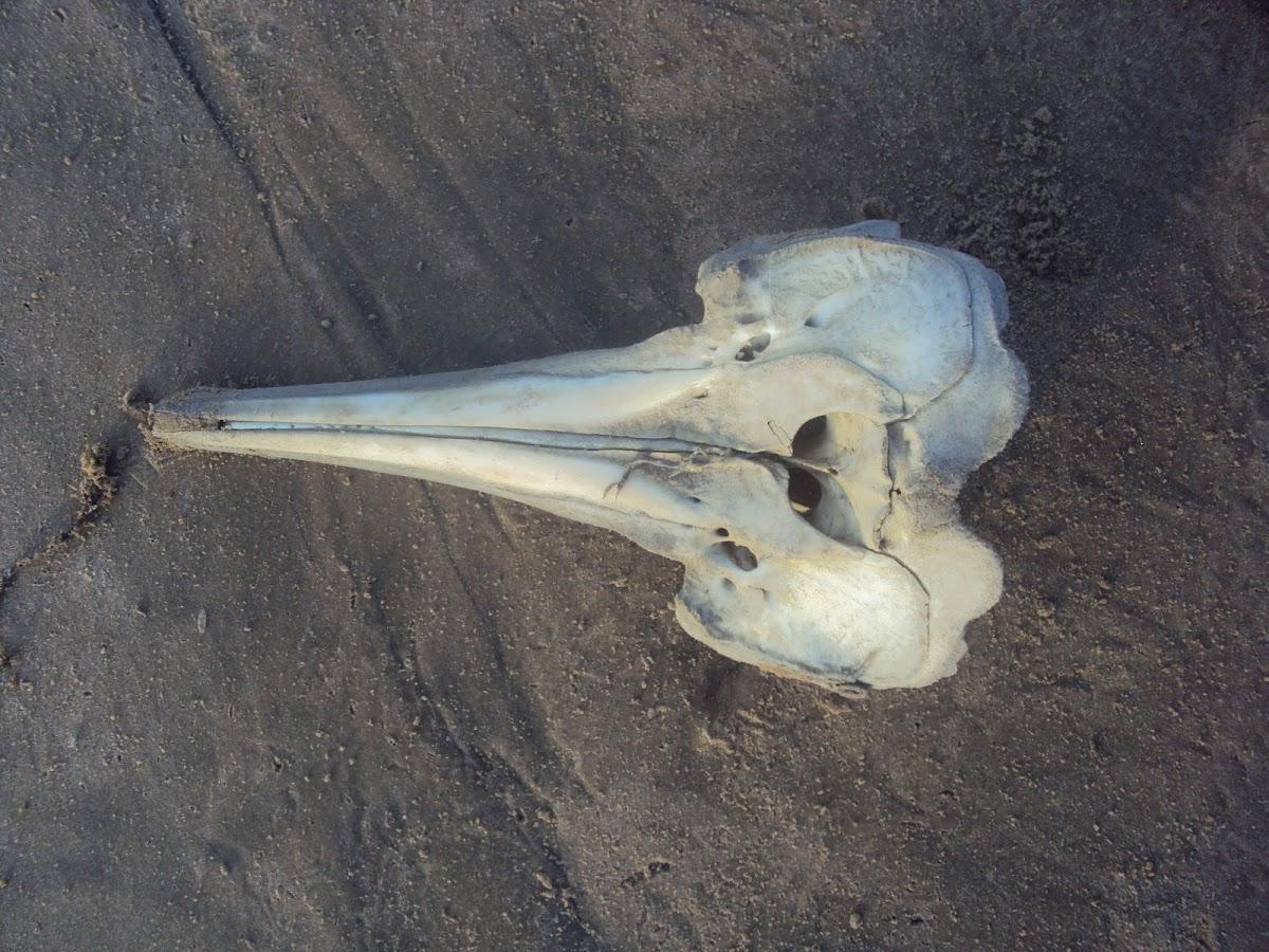 Dolphin skeleton?